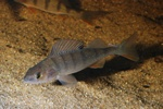 European perch  (Perca fluviatilis)